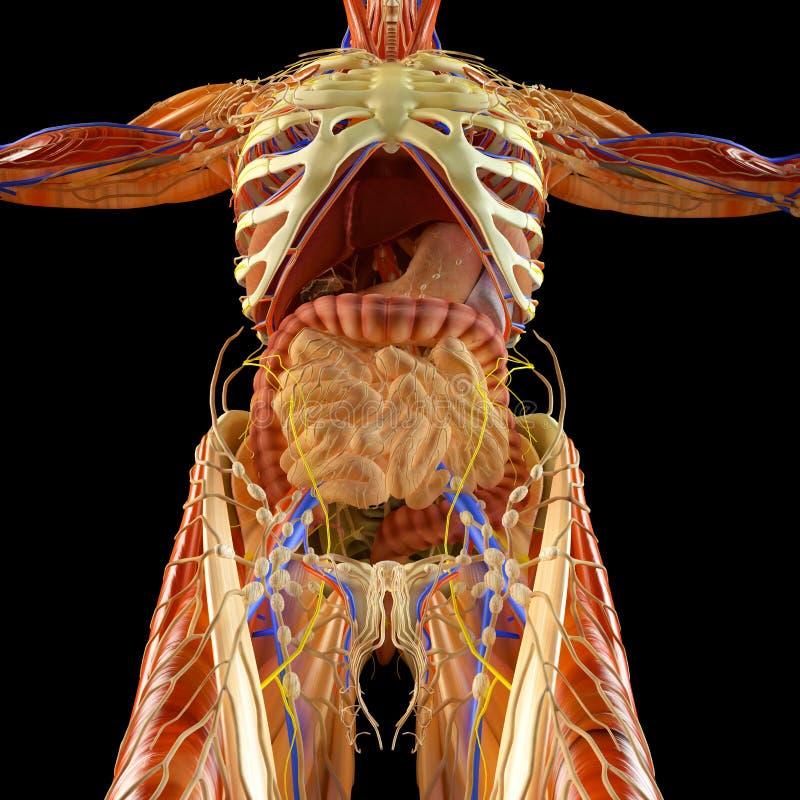 Darm, spijsverteringssysteem, maag, slokdarm, twaalfvingerdarm, dubbelpunt met verlengde schaduw Menselijke anatomie royalty-vrije illustratie