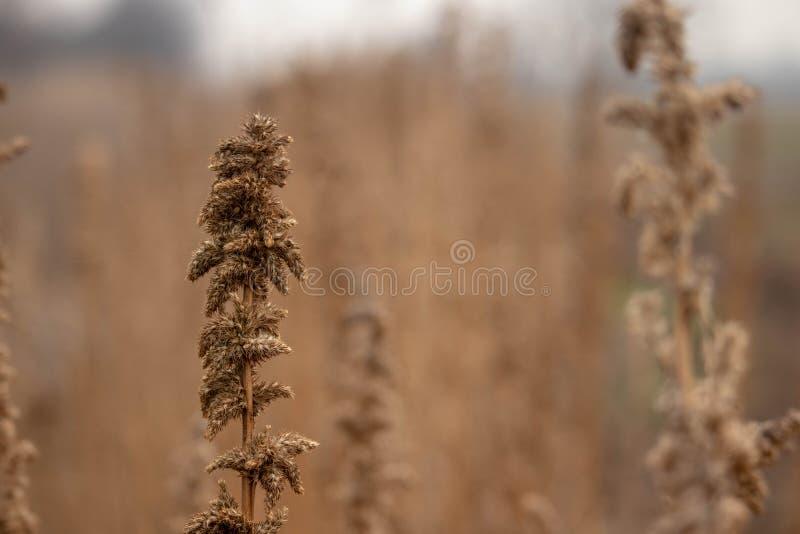 Darnel Weed no Wallpaper de campo foto de stock