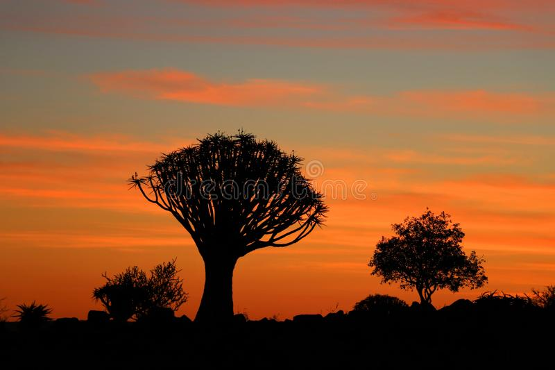 Darrningträd Forest Aloe - Namibia africa arkivfoto