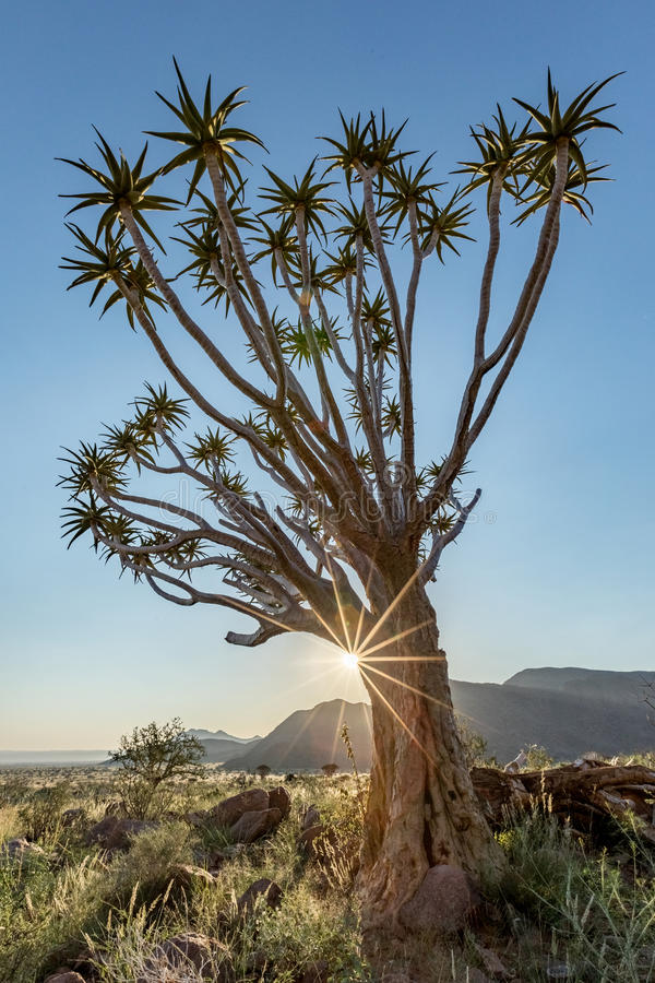 Darrningträd, Namib Rand Reserve, Namibia royaltyfria bilder
