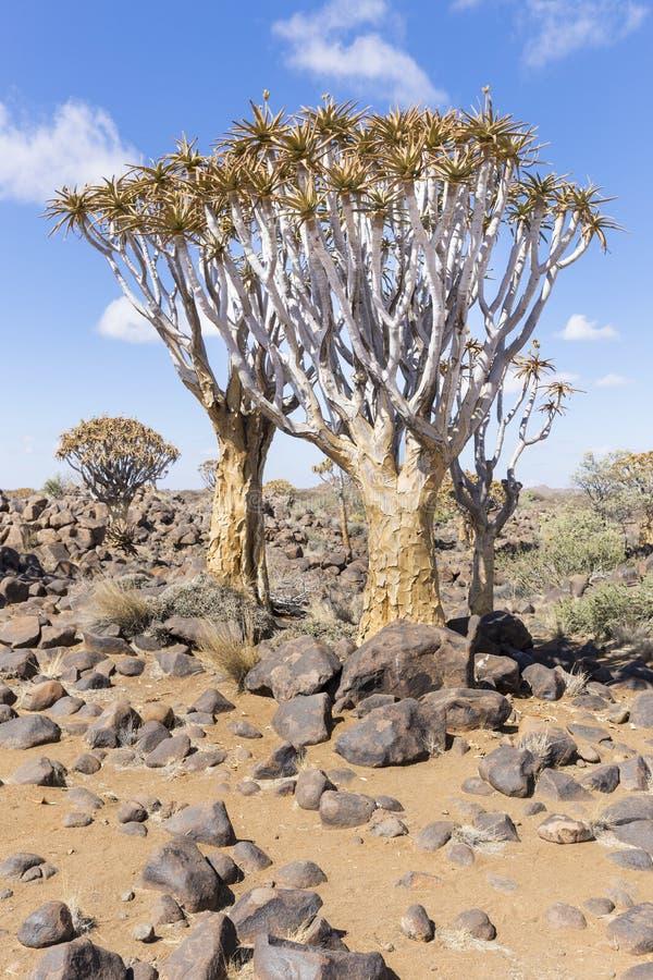 Darrningträdet, eller aloedichotoma eller Kokerboom, i Namibia fotografering för bildbyråer