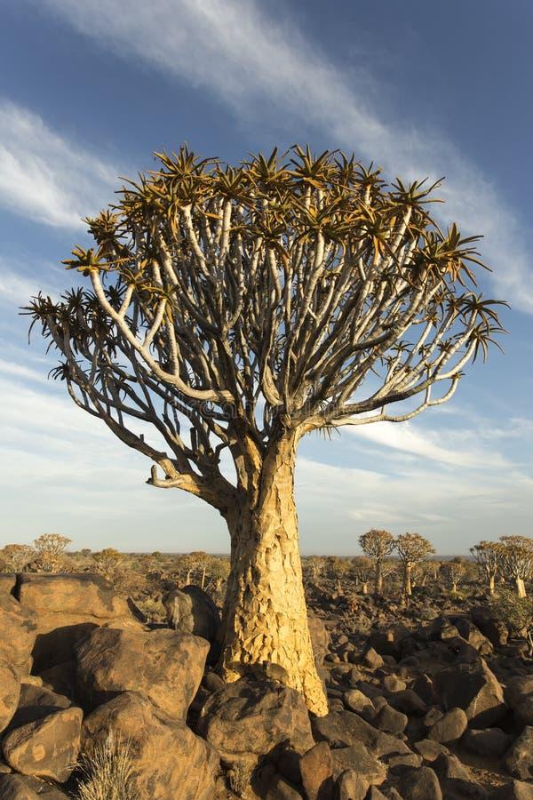 Darrningträdskog i Namibia royaltyfri bild