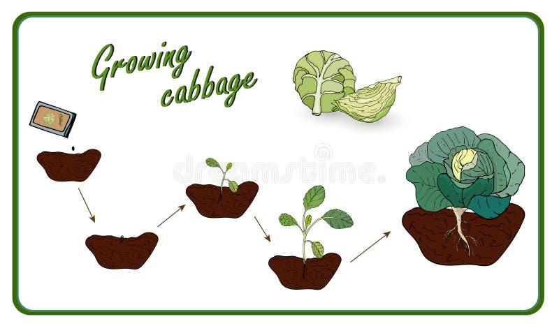 Darstellung der Stufen des Anbaus von Kohl von Saatgut zu Ernte, Anpflanzung, Setzlinge, Kohl Vector lizenzfreie abbildung