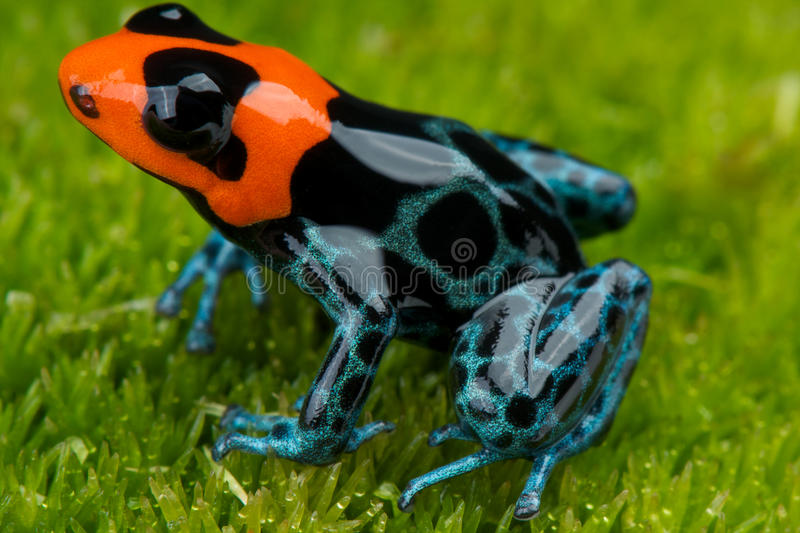 Download Dart Frog Stock Photo - Image: 25111890