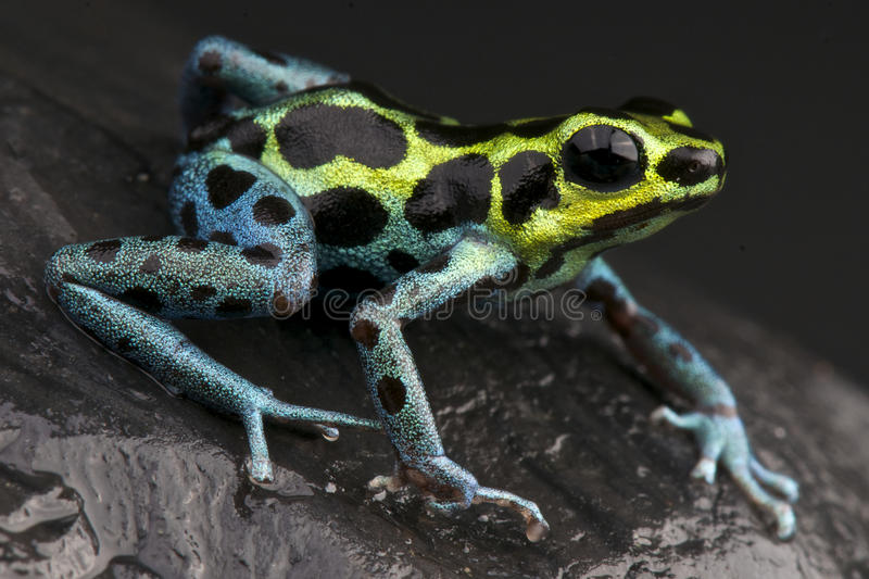 Dart frog royalty free stock photo