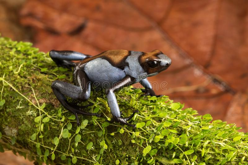 Dart frog, Oophaga histrionica stock photography