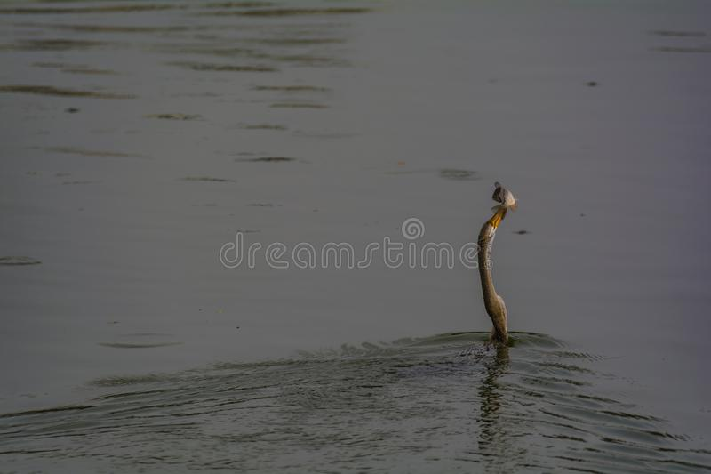 Darted: Orientalny Wężowy lub Indiański Wężowy połów zdjęcie stock