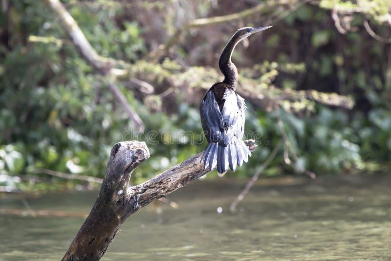 Darter africano que se sienta en un árbol seco, sumergido en vencedor del lago foto de archivo libre de regalías