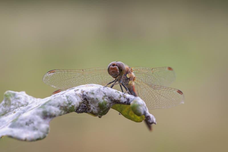 darter Amarillo-con alas - flaveolum de Sympetrum fotos de archivo