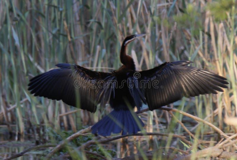 Darter Anhinga melanogaster rufa royalty free stock photo