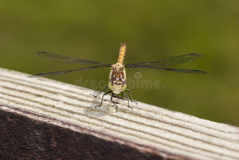 Download Darter comum foto de stock. Imagem de darter, wildlife - 26509732