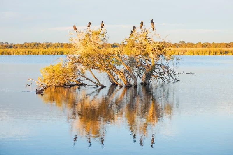 Darter, cormorani ed anatre fotografia stock libera da diritti