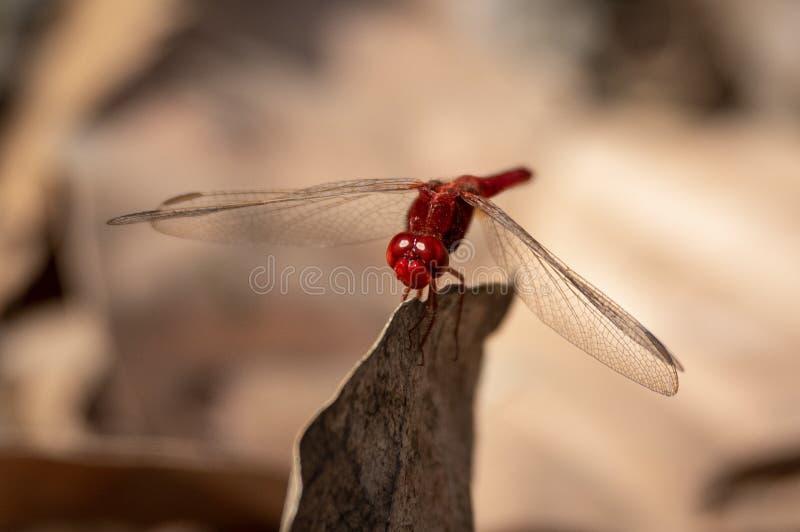 Darter Rojo-veteado el fonscolombii del nómada o de Sympetrum foto de archivo libre de regalías