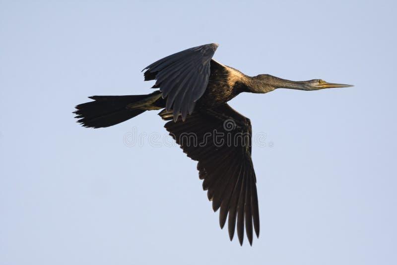 Darter of Snakebird Anhinga tijdens de vlucht stock fotografie