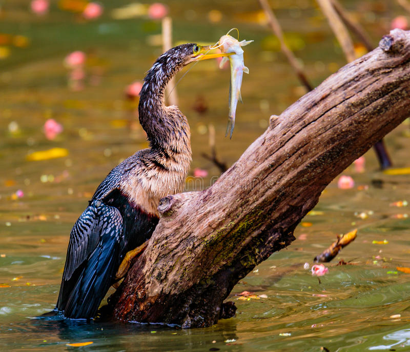 Darter Spearfishing d'Anhinga images libres de droits