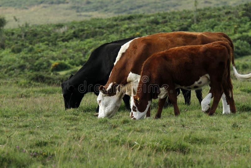 Dartmoor牛 免版税库存照片