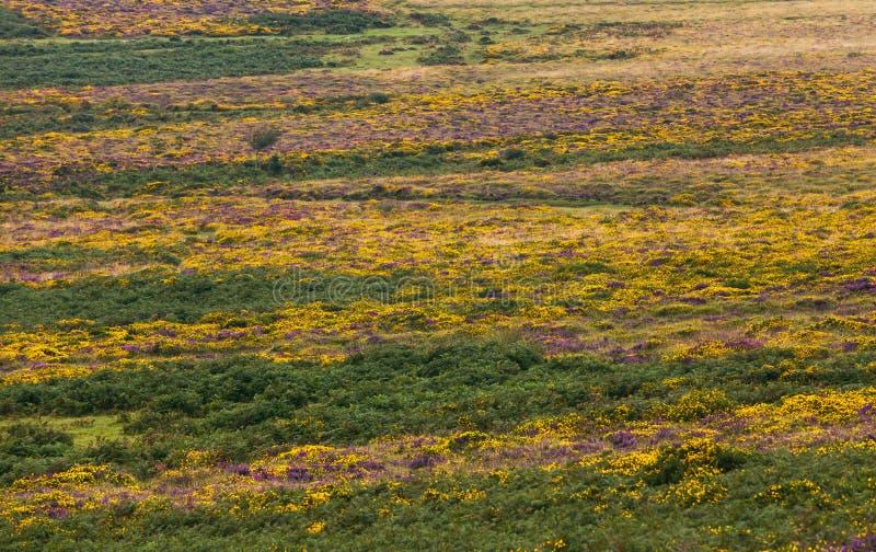 Dartmoor花和树 库存照片