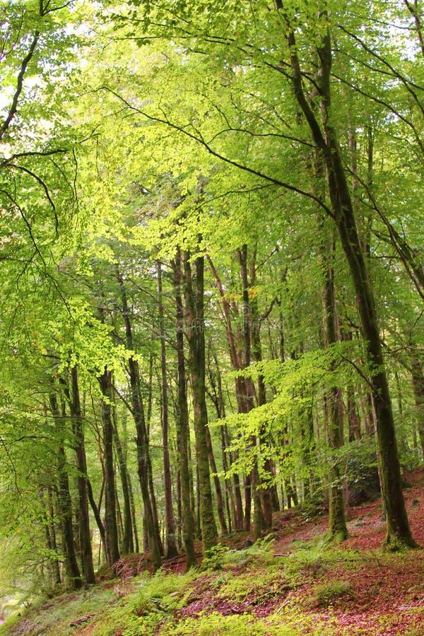 Dartmoor-Buchenholz lizenzfreies stockbild