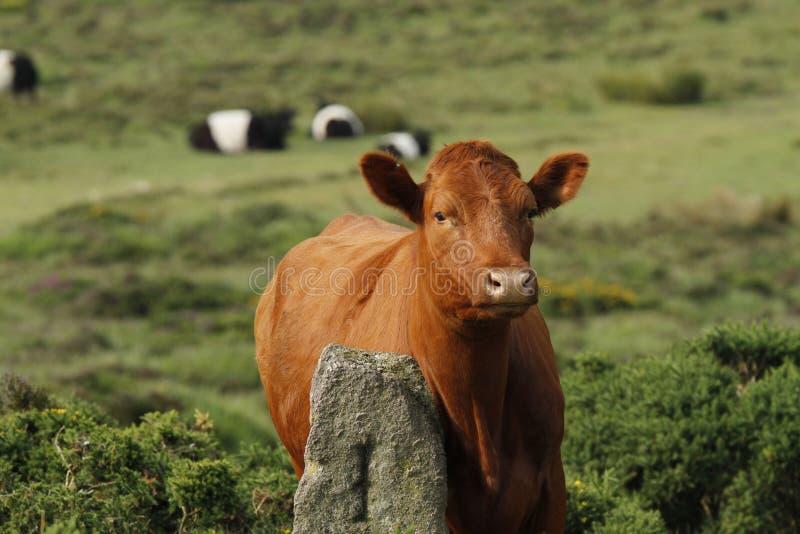 Dartmoor bydło zdjęcie stock