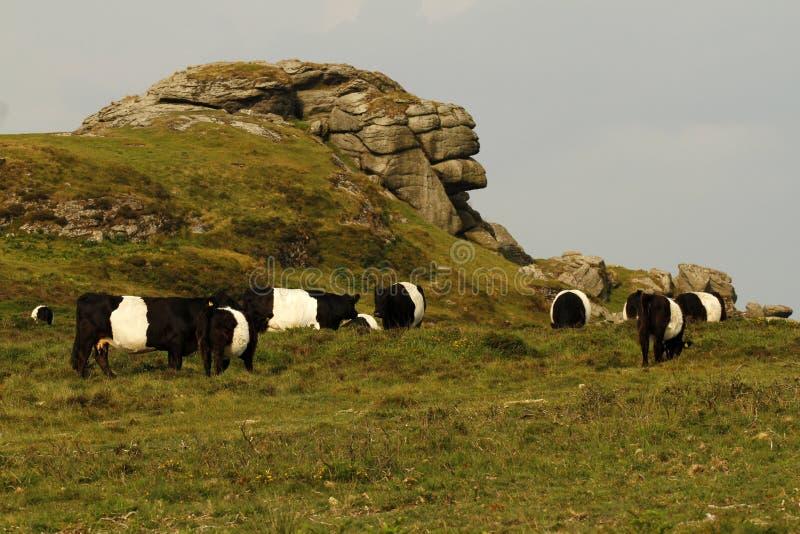 Dartmoor bydło obrazy royalty free