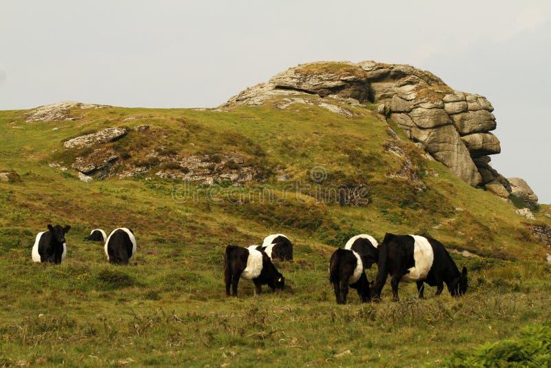 Dartmoor bydło fotografia royalty free