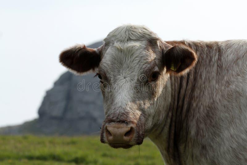 Dartmoor bydło fotografia stock
