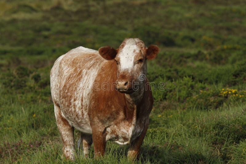 Dartmoor Cattle stock images