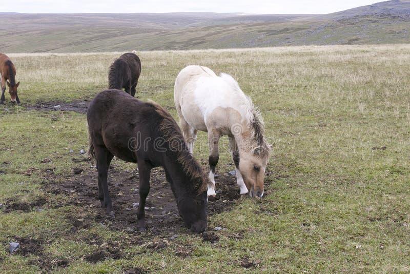 Dartmoor Foals Grazing. On Dartmoor royalty free stock photos
