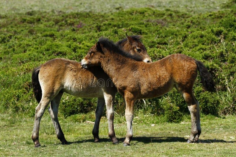 Dartmoor Foals. Dartmoor wild ponies having fun in the sunshine royalty free stock photo