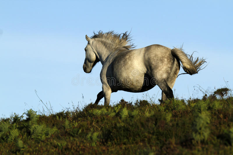 Dartmoor Grey Pony royaltyfri foto