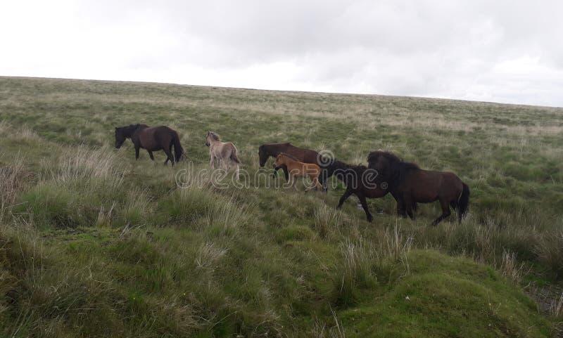 Dartmoor klacze z źrebiętami obraz stock