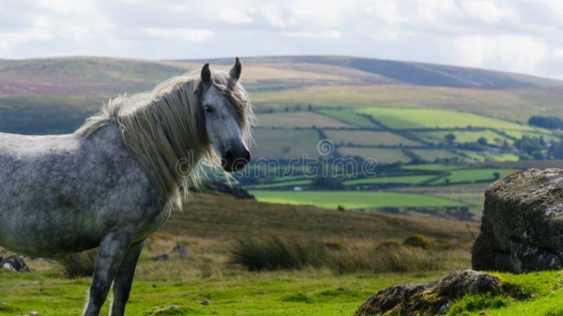 Dartmoor konik obrazy royalty free