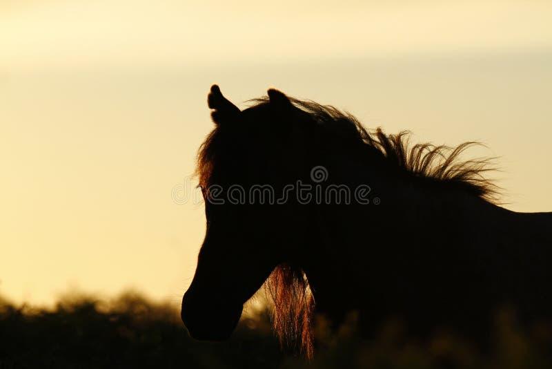 Dartmoor Konik zdjęcia royalty free