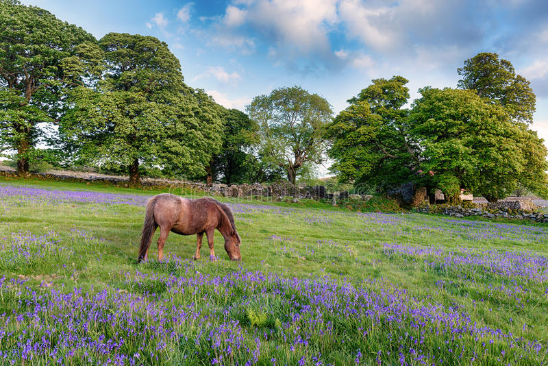 Dartmoor Konik zdjęcia stock