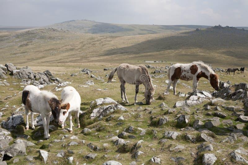 Dartmoor koniki zdjęcia royalty free