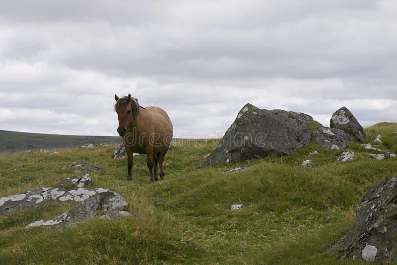 Dartmoor Mare Pony fotografia de stock royalty free