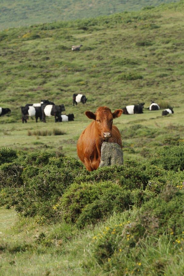 Dartmoor nötkreatur royaltyfri foto