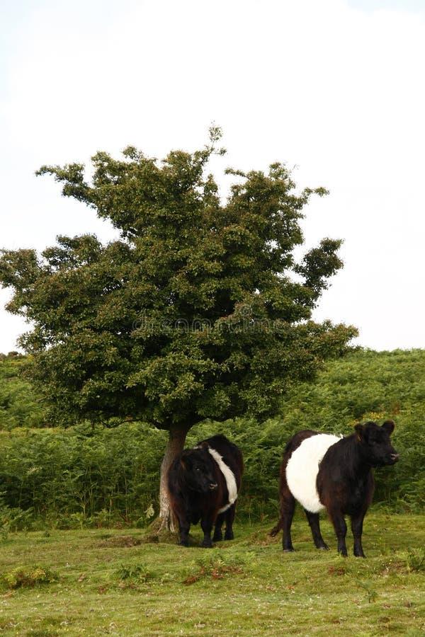 Dartmoor nötkreatur fotografering för bildbyråer