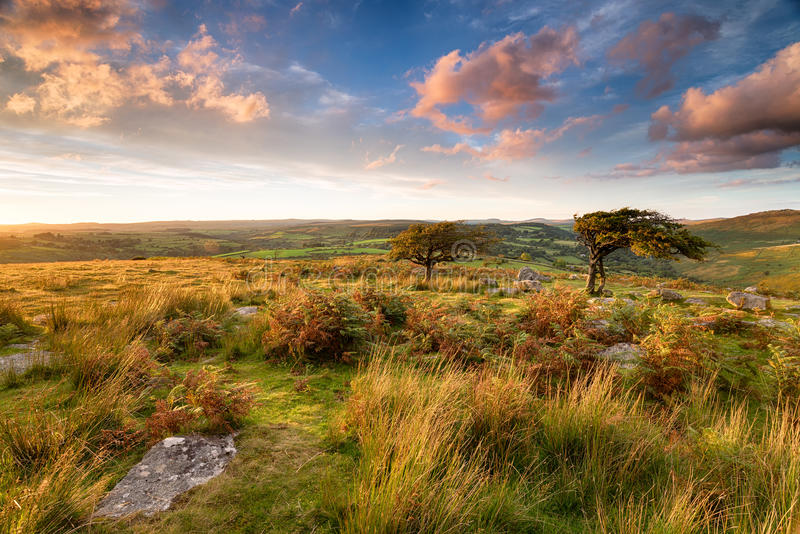 Dartmoor National Park. Gnarled and twisted Hawthorn trees at Combestone Tor near Hexworthy on Dartmoor National Park in Devon royalty free stock photos