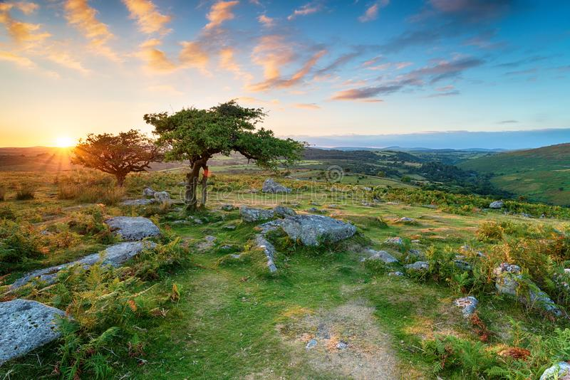 Dartmoor National Park. Weathered Hawthorn trees at Combestone Tor on Dartmoor National Park in Devon royalty free stock images