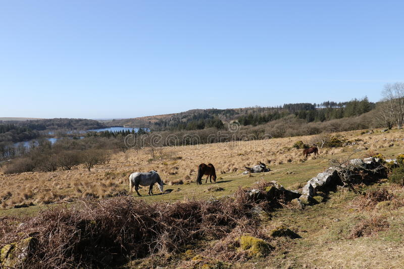 Dartmoor Ponies above Burrator Lake. Located in Dartmoor National Park Devon UK royalty free stock photography
