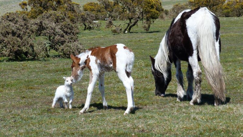 Dartmoor ponies on Bodmin Moor South West England. Dartmoor pony & foal with a young lamb on Bodmin Moor South West England royalty free stock photos