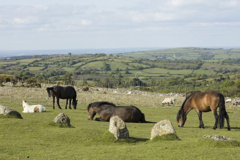 Dartmoor ponies. Ponies graze on Dartmoor National Park Devon England stock photos