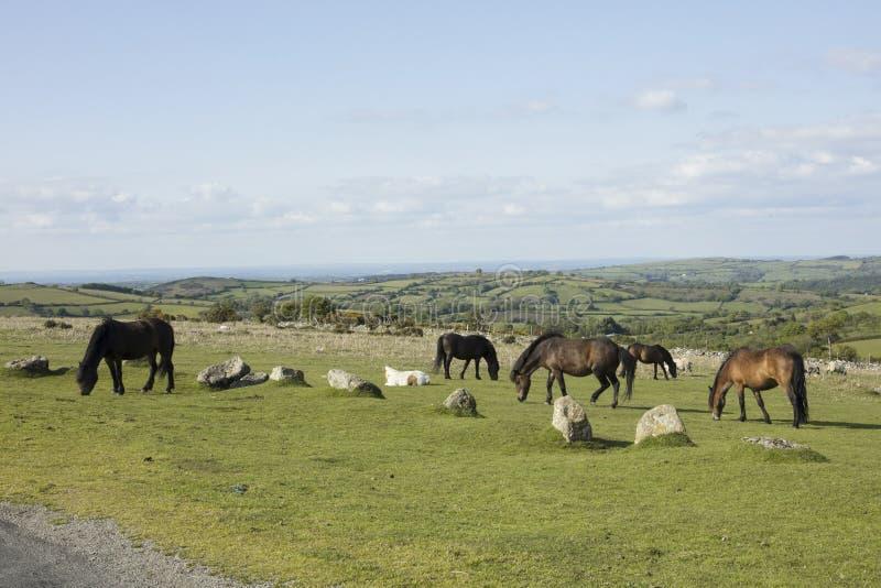 Dartmoor ponies. Ponies graze on Dartmoor National Park Devon England royalty free stock images