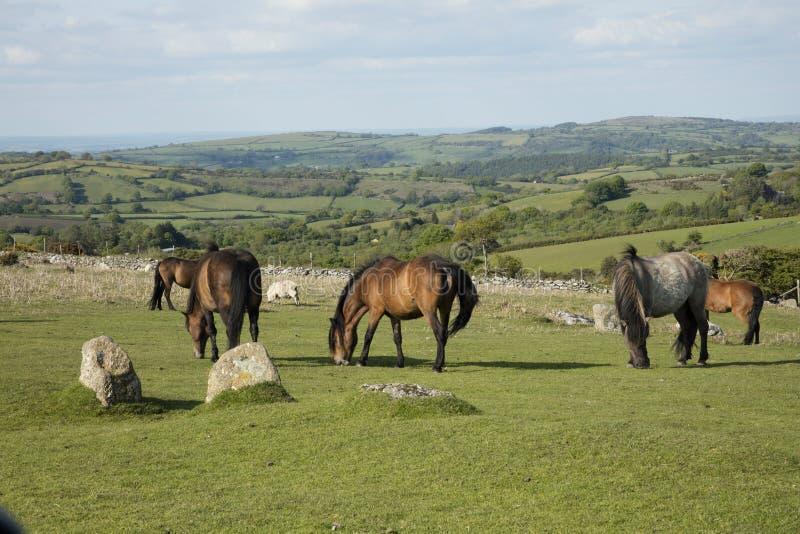 Dartmoor ponies. Ponies graze on Dartmoor National Park Devon England royalty free stock photo