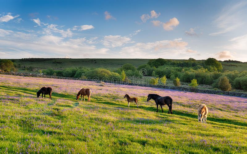 Dartmoor Ponies royalty free stock image