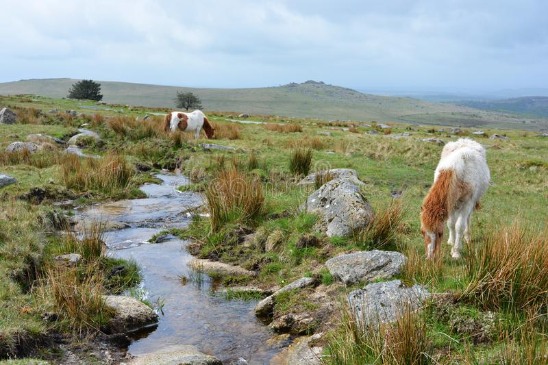 Dartmoor ponies on the high moors, UK. Dartmoor ponies roaming free by Longash Leat, Merrivale, in Dartmoor National Park, on an overcast day in the late spring royalty free stock photo