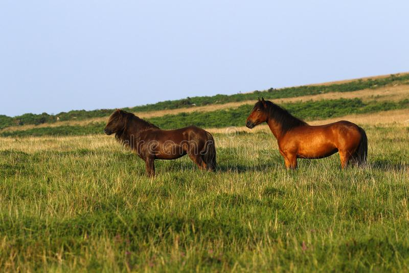 Dartmoor ponies stallion & mare royalty free stock photos