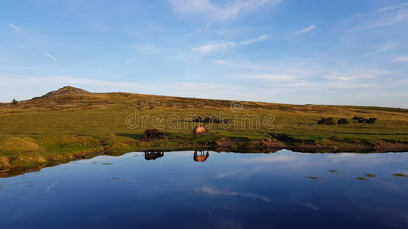 Dartmoor ponnyer som dricker från en pöl på dartmoor royaltyfria bilder