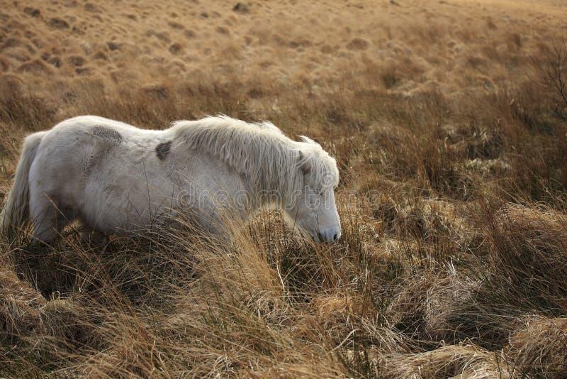 Dartmoor Pony stockfoto